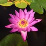蓮の花_足利フラワーパーク